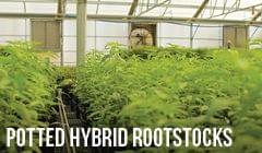 Potted Hybrid Rootstocks
