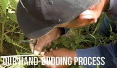 Our Hand-Budding Process